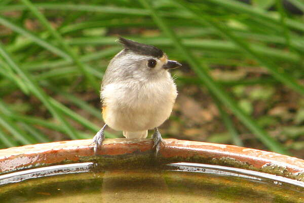 A black-crested titmouse drinks from a bird bath. The social birds often nest near homes and come to feeders for peanuts and sunflower seeds.
