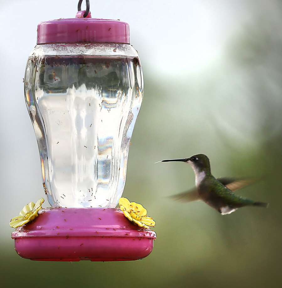 Sugar water for hummingbirds doesn't have to be colored red. Photo: Bob Owen /San Antonio Express-News / San Antonio Express-News