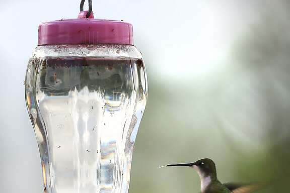 Sugar water for hummingbirds doesn't have to be colored red.