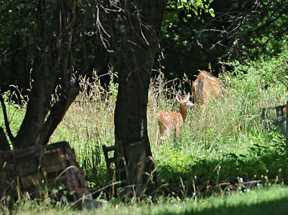 A doe and her fawn are seen on land for sale at 226 Cemetery Road on Thursday, July 21, 2016 in Troy, N.Y. Mayor Patrick Madden waived a city reverter clause in March. Property was purchased for $3,500 in city land sale process. Worth $55,000. (Lori Van Buren / Times Union) Photo: Lori Van Buren / 20037401A