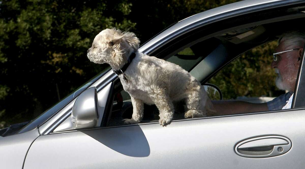 Does your pup love hanging its head out the window as you cruise down the Great Highway in SF? Unfortunately, this isn't actually allowed by law. To legally travel with a dog in your vehicle on the streets of San Francisco, the animal must be