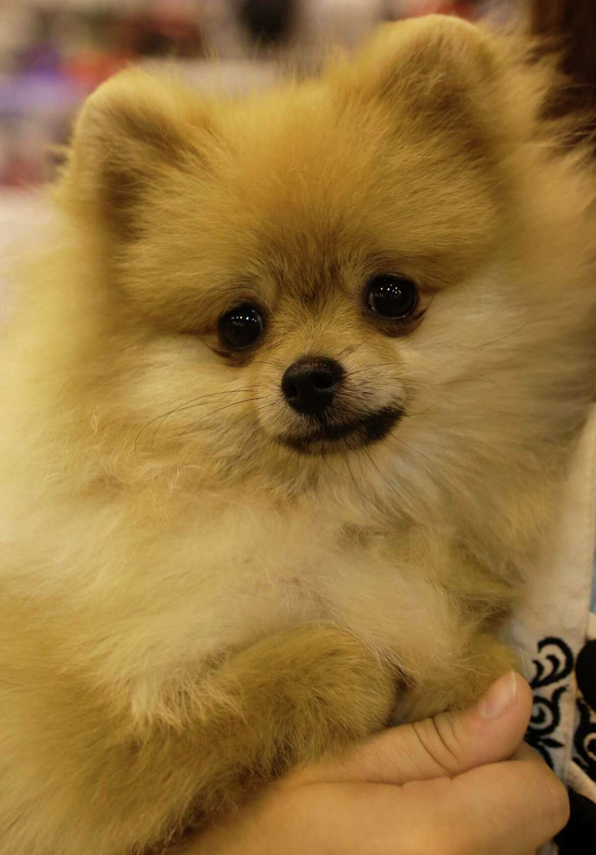 Brian Mounts, of Terrell, TX, holds Pomeranian Paisley at the Houston World Series of Dog Shows at NRG Park, Thursday, July 21, 2016, in Houston.