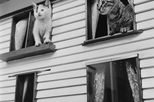 circa 1950:  A group of kittens perch on the window ledges of a cat 'house'. The 'house' with a scaled-down facade identical to a family home, was built by Miss Alice Manchester, proprietor of the Greenwich Village Humane Cat Leaue which finds homes for more than 800 cats a year.  (Photo by Douglas Grundy/Three Lions/Getty Images)