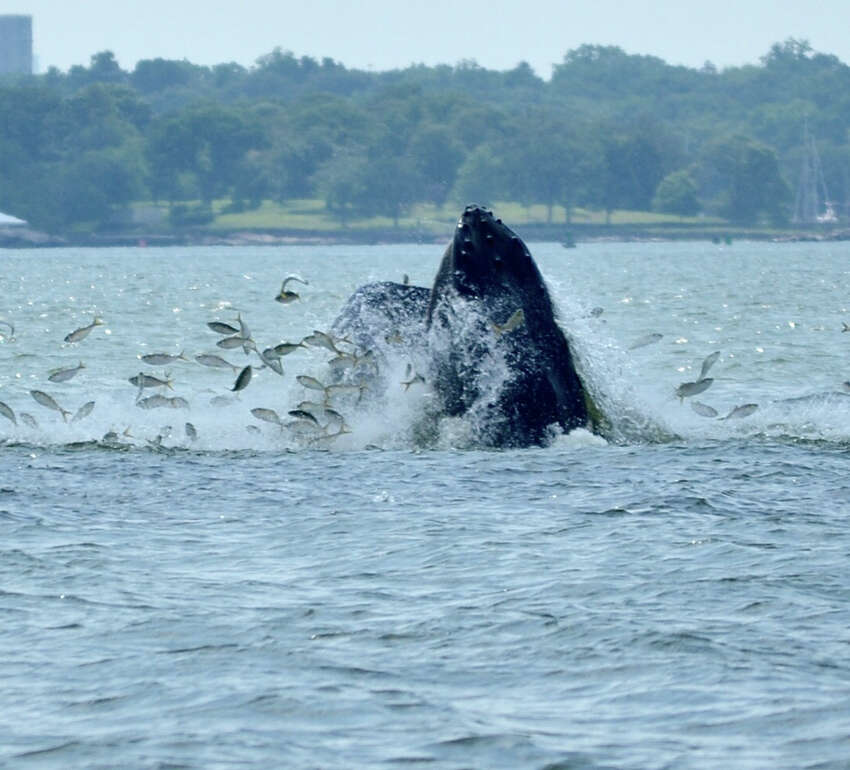 Whales spotted off Norwalk, Stamford, Greenwich In July, Sal Rodriguez, a captain for Copps Island Oysters, was minding his own business Thursday afternoon, cleaning his boat near Greens Ledge Lighthouse when suddenly something startled him.