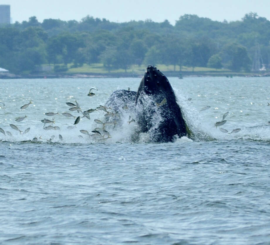 Humpback whales have been spotted on three different occassions in Long Island Sound within the last week near Norwalk, Greenwich and New Rochelle. This photo taken Thursday afternoon shows a whale catching fish near New Rochelle. Photo: Hannah Doyle / Contributed Photo / Greenwich Time Contributed