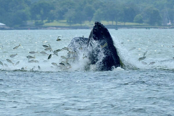 Humpback whales have been spotted on three different occassions in Long Island Sound within the last week near Norwalk, Greenwich and New Rochelle. This photo taken Thursday afternoon shows a whale catching fish near New Rochelle.