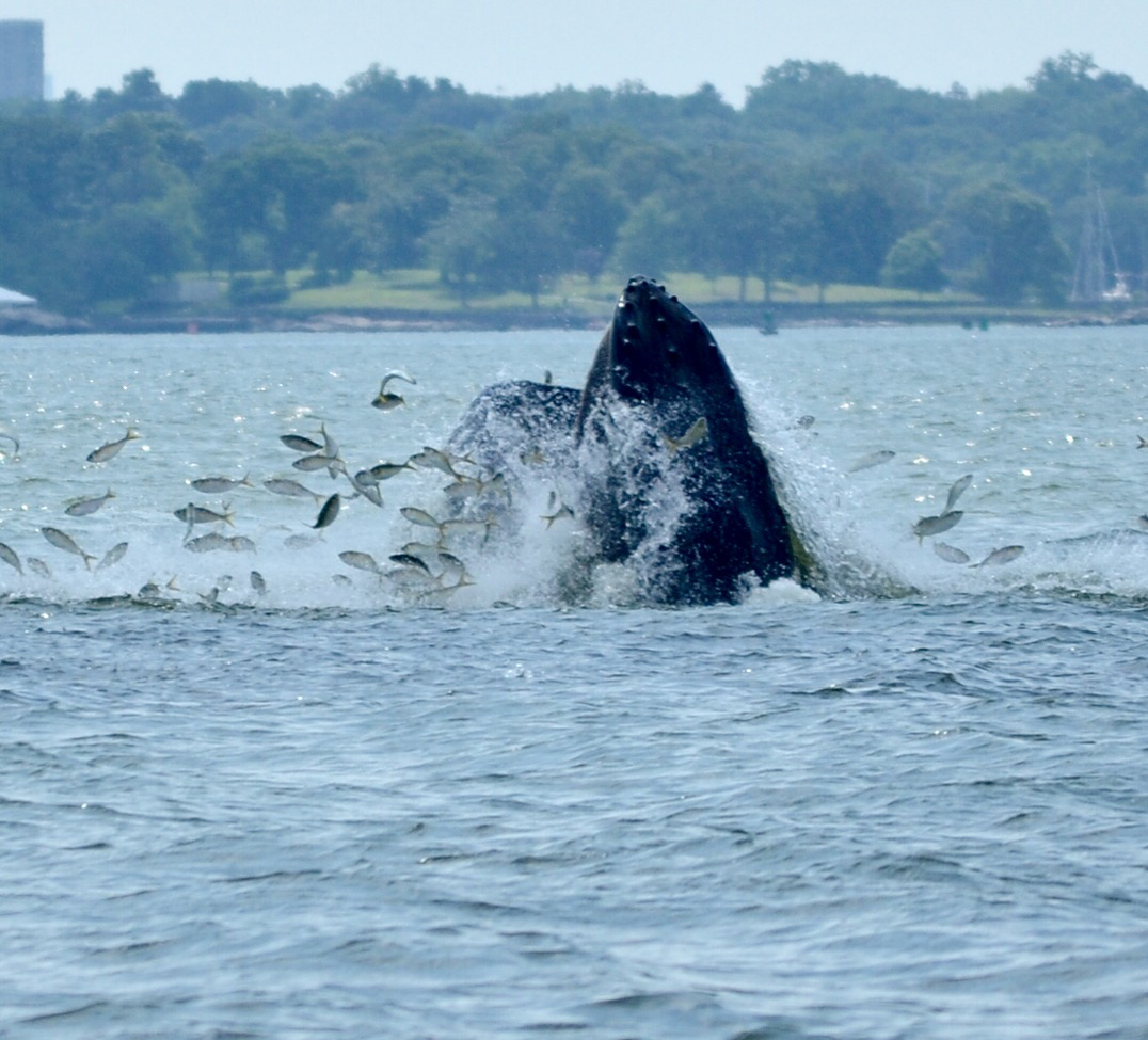 Whales spotted off norwalk stamford greenwich the hour for Ct fish and game