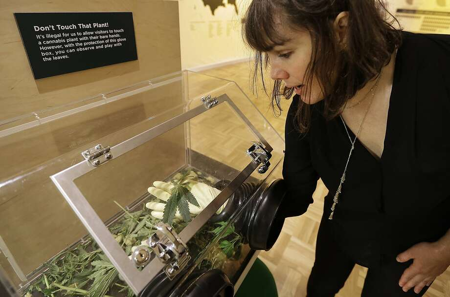 "In this photo taken on Thursday, May 26, 2016, Sarah Seiter, curator of the exhibit ""Altered State: Marijuana in California"" handles a cannabis leaf with gloved hands at the Oakland Museum in Oakland, Calif. Set against the backdrop of a California ballot measure in 2016 to legalize marijuana's recreational use, the exhibition features artwork, political documents and posters, scientific and interactive displays meant to provoke questions and conversations about pot. (AP Photo/Ben Margot) Photo: Ben Margot, Associated Press"