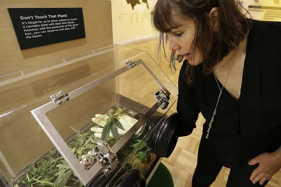 "In this photo taken on Thursday, May 26, 2016, Sarah Seiter, curator of the exhibit ""Altered State: Marijuana in California"" handles a cannabis leaf with gloved hands at the Oakland Museum in Oakland, Calif. Set against the backdrop of a California ballot measure in 2016 to legalize marijuana�s recreational use, the exhibition features artwork, political documents and posters, scientific and interactive displays meant to provoke questions and conversations about pot. (AP Photo/Ben Margot)"