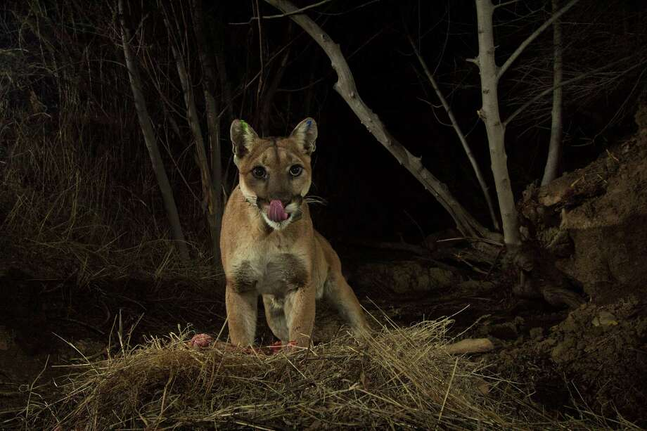 Mountain lions or cougars, like this one in the Santa Monica Mountains of Los Angeles, rely on deer as their main source of food.  Photo: National Park Service / The Washington Post