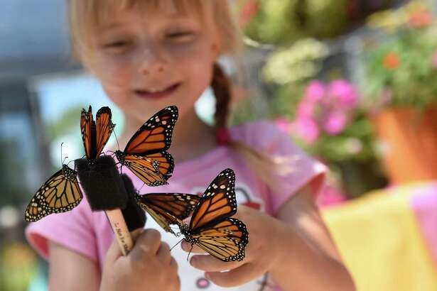 Cheyanne Lallo, 3, of Saratoga Springs attracts monarch butterflies with a nectar stick at the Butterfly Encounter during the 175th Saratoga County Fair on Saturday, July 23, 2016, in Ballston Spa, N.Y. (Cindy Schultz / Times Union)