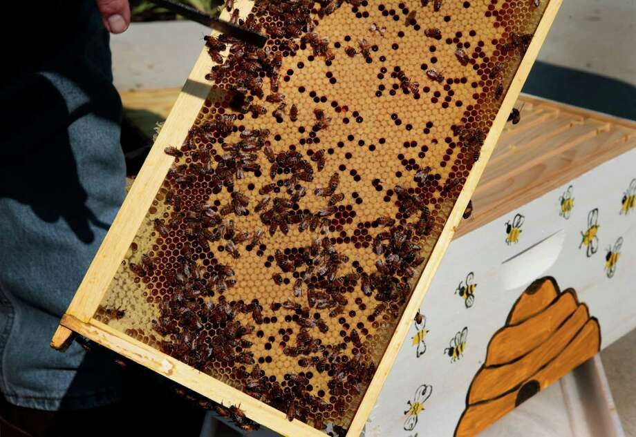 Monsanto scientists think they can help the nation's bee population by tailoring a treatment with far more specificity than synthetic chemicals, one that uses the language of DNA to target genes unique to only to the varroa mite, the Asian parasite feeding off them. Photo: Robert Cohen /St. Louis Post-Dispatch / St. Louis Post-Dispatch