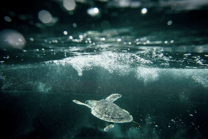 A Kemp's Ridley Sea Turtle swims under the ocean after being released back into it's natural habitat by the US Coast Guard and NOAA members, 20-miles off the coast of Galveston. ( Michael Paulsen / Houston Chronicle )