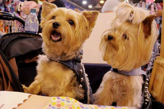 Max and Jax wait for a treat from their owner, Lauren Leavitt, in the Yorkie Haven Rescue booth Sunday at the Houston World Series of Dog Shows at NRG Center. Yorkies are the focus of just one of dozens of breed-specific rescue groups at the show.