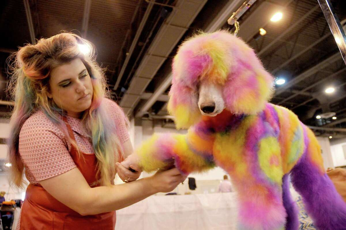 Brooke Stephenson of Austin prepares Soleil, a 7-month-old poodle, for competition in the creative grooming category.
