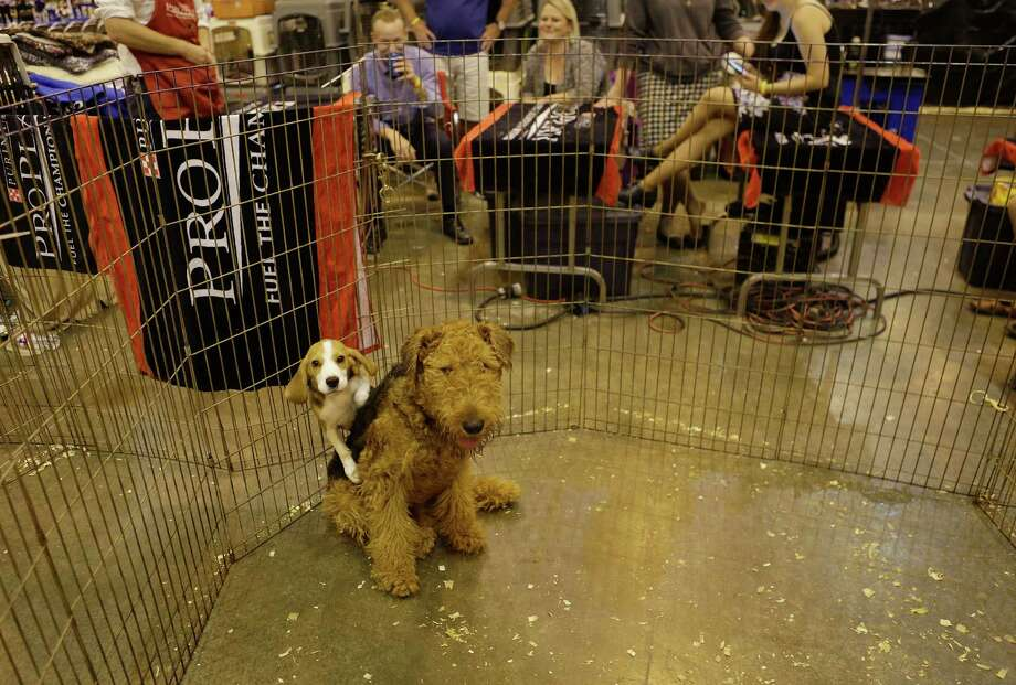 Flash, a beagle, and Pablo, an Airedale, play at the Houston World Series of Dog Shows at NRG Park, Thursday, July 21, 2016, in Houston. Photo: Mark Mulligan, Houston Chronicle / © 2016 Houston Chronicle