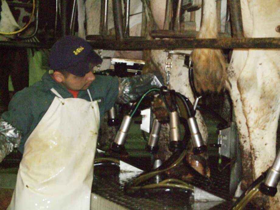 Workers disinfect the cows' udders and attach milking machines. Around 32 workers are employed at Vista Grande Dairy. Photo: Gail M. Williams | Plainview Herald