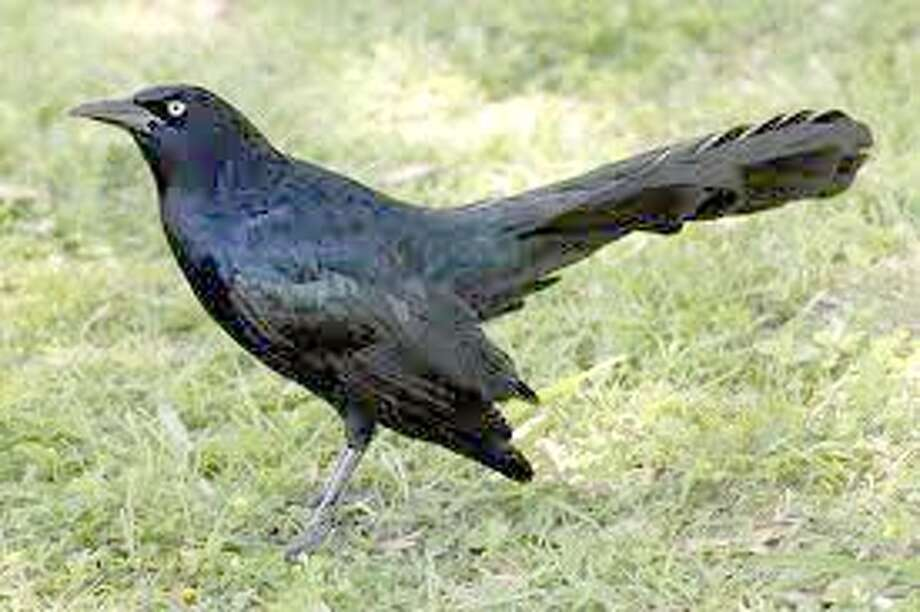 Grackles like these are abundant on the Wayland campus, and one resident in the area says the cannons the school uses to scare them off shake his windows, scare his dog and cause his ears to constantly ring. Photo: Courtesy Photo