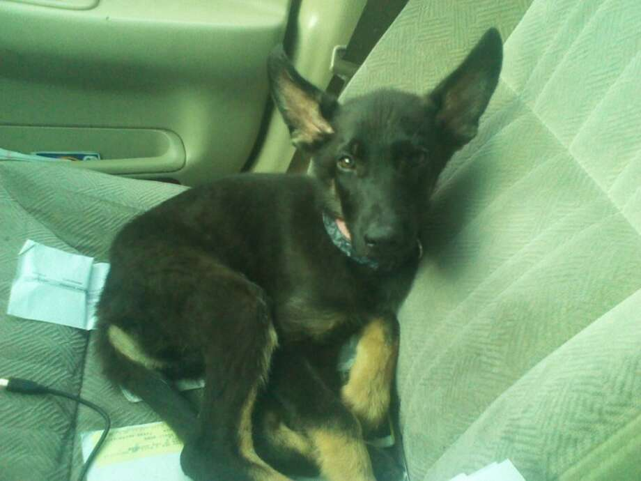 A young German shepherd on his way home after being purchased at AlphaTex Kennels. The dog soon became sick and died.