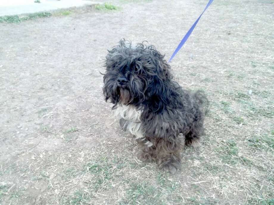 Courtesy Photo by Cynthia DavidsonBrodie is a male shih tzu who is spunky and sweet. If you are interested in Brodie or another dog or cat, call the Plainview Humane Society at 806-296-2311, visit from 4-5:30 p.m. Monday-Friday (closed Wednesday) or find us on Facebook. Adoption fee is $75 for dogs and $50 for cats, which includes spay/neuter, a rabies shot and a microchip.