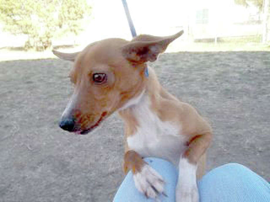 Courtesy PhotoLollie is a 1-2 year-old Chihuahua mix. She is playful and friendly, but doesn't like many other dogs. If you are interested in Lollie or another dog or cat, call the Plainview Humane Society at 806-296-2311, visit from 4-5:30 p.m. Monday-Friday (closed Wednesday) or find us on Facebook. Adoption fee is $75 for dogs and $50 for cats, which includes spay/neuter, rabies shot and microchip.
