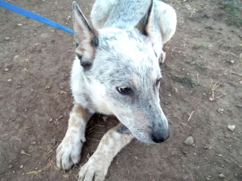 Courtesy Photo by Cynthia DavidsonAllie is a young female heeler mix. She is shy, but will warm up to a new owner. If you are interested in Allie or another dog or cat, call the Plainview Humane Society at 806-296-2311, visit from 4-5:30 p.m. Monday-Friday (closed Wednesday), or find us on Facebook. Adoption fee is $75 for dogs and $50 for cats, which includes spay/neuter, a rabies shot and a microchip.