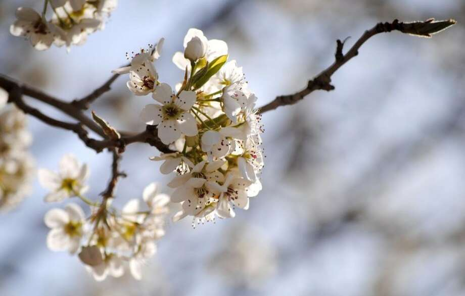 Doug McDonough/Plainview HeraldAlthough overnight lows continue to dip to near or below freezing, fruit trees already are cloaked in spring blossoms, including this one south of City Hall. While today's high temperature is expected to reach into the upper 70s, tonight's low should dip into the mid-30s with the mercury falling into the upper 20s Friday night. It could be dusty again today with west winds blowing at 15-25 mph, increasing to 25-30 mph. The wind will moderate to 15-25 mph tonight.