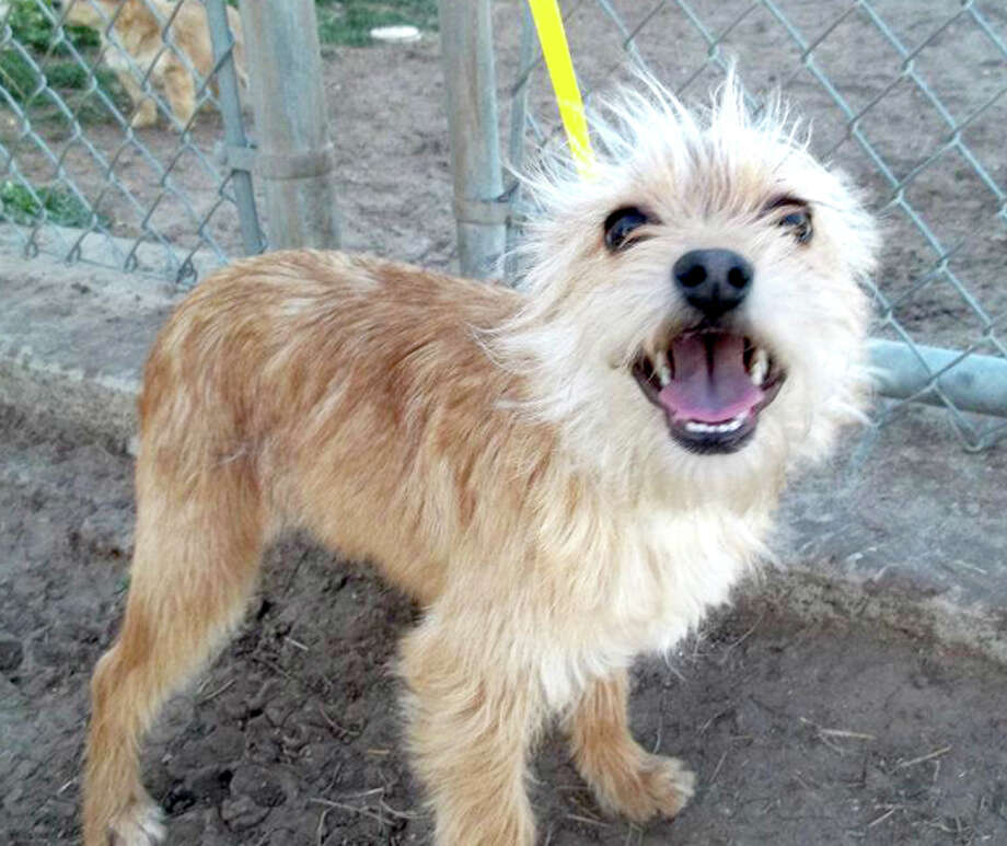 Courtesy Photo by Cynthia DavidsonTopper is a male terrier mix. He likes to run, but also enjoys having his tummy rubbed. If you are interested in Topper or another dog or cat, call the Plainview Humane Society at 806-296-2311, visit from 4-5:30 p.m. Monday-Friday (closed Wednesday) or find us on Facebook. Adoption fee is $75 for dogs and $50 for cats, which includes spay/neuter, rabies shot and microchip.