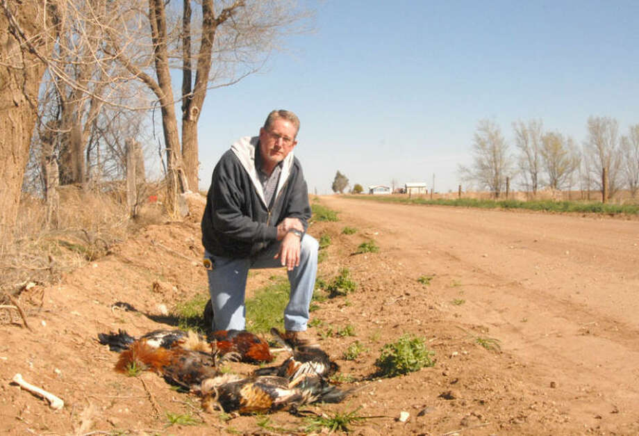 Precinct 1 County Commissioner Harold King kneels behind five dead fighting roosters found dumped in a bar ditch north of 34th Street on Country Road X-ray on Tuesday afternoon. Illegal dumping in the area has become an almost daily occurrence in that part of the county, King said. Photo: Doug McDonough/Plainview Herald