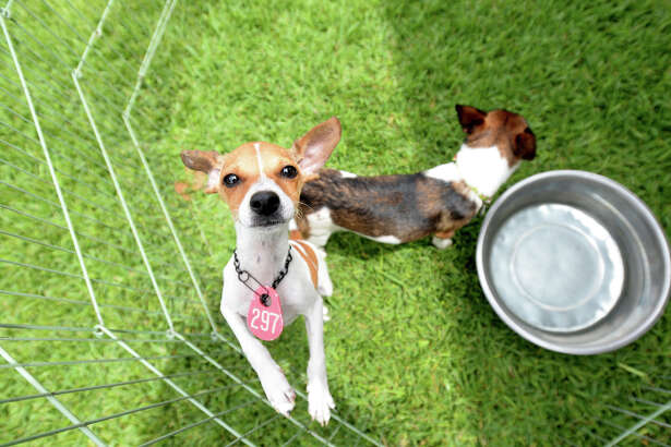 Terriers play in an outdoor pen during the 7th annual Adopt-A-Pet event at Beaumont Animal Services Saturday. After only a couple of hours, the shelter had adopted out a record number of animals. Over 100 animals await homes. The event continues Sunday 10 - 4 p.m. Photo taken Saturday, May 30, 2015 Kim Brent/The Enterprise