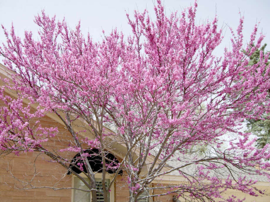 A redbud tree is seen Tuesday afternoon blooming outside the home of Bill and Wanda Sylvester, 505 Parkway Drive. A late freeze enveloped the area overnight after a cold front moved in late Tuesday. Photo: Shanna Sissom/Plainview Herald