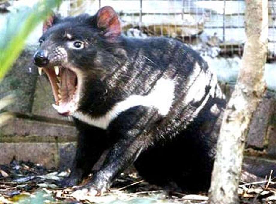 Courtesy PhotoToday's Pet of the Week may be a first for Plainview — a Tasmanian devil. This unusual creature was noticed by a crew working on the reconstruction of Fifth Street along the Running Water Draw diversion channel in the 500 block of West Fifth Street. Normally found only in the wild on the Australian island of Tasmania, the Tasmanian devil is the size of a small dog. According to Wikipedia, it is known for its pungent odor, extremely loud and disturbing noises, and ferocious feeding habits. It is said that the Tasmanian devil's large head and neck allow it to generate the strongest bite per unit body mass of any living mammal. The devil is capable of surprising speed and endurance, and can climb trees and swim across rivers. The Plainview Humane Society is willing to forego any adoption fee for the devil in order to find it the perfect owner. Call 296-FOOL for more information.