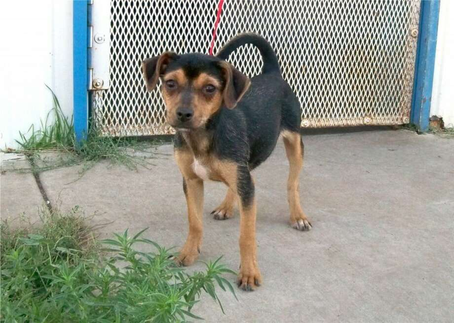 Belle is a female miniature pinscher-mix. She likes attention and playing in the yard. If you are interested in adopting Belle or another dog or cat, call the Plainview Humane Society at 806-296-2311, visit from 4-5:30 p.m. Monday-Friday or find us on Facebook. Adoption fee is $75 for dogs and $50 for cats, which includes spay/neuter, a rabies shot and a microchip.