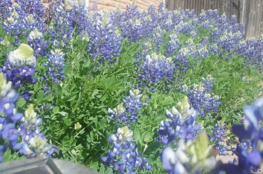 Jessica Thornton/Plainview HeraldWild bluebonnets might be a rare sight in this region, but Evelyn Jones and her family don't have to travel to East Texas to see the spring wildflower. They have a beautiful crop growing in their own backyard.