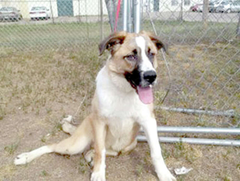 Courtesy Photo by Cynthia DavidsonJessie is a female St. Bernard mix. She is spunky and lovable. If you are interested in Jessie or another dog or cat, call the Plainview Humane Society at 806-296-2311, visit from 4-5:30 p.m. Monday-Friday (closed Wednesday) or find us on Facebook. Adoption fee is $75 for dogs and $50 for cats, which includes spay/neuter, a rabies shot and a microchip.