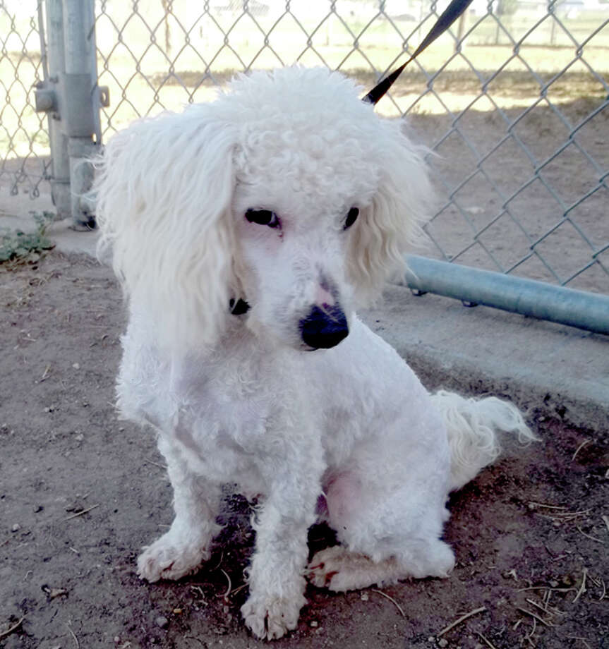Courtesy Photo by Cynthia DavidsonMarshmallow is a male poodle mix. He likes to play tug-o-war and gets along with other dogs. If you are interested in Marshmallow or another dog or cat, call the Plainview Humane Society at 806-296-2311, visit from 4-5:30 p.m. Monday-Friday (closed Wednesday) or find us on Facebook. Adoption fee is $75 for dogs and $50 for cats, which includes spay/neuter, rabies shot and a microchip.
