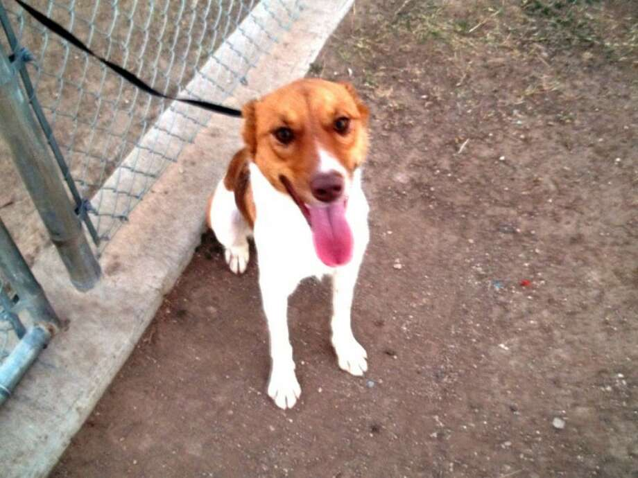 Courtesy Photo by Cynthia DavidsonLacey is a 2-year-old lab mix. She has been attending dog training and can sit, stay and down. If you are interested in Lacey or another dog or cat, call the Plainview Humane Society at 806-296-2311, visit from 4-5:30 p.m. Monday-Friday or find us on Facebook. Adoption fee is $75 for dogs and $50 for cats, which includes spay/neuter, rabies shot and microchip.
