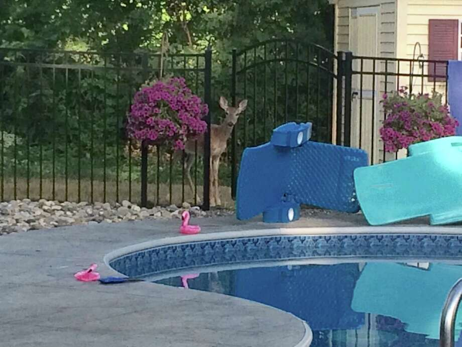 This little deer surprised us by showing up at our pool this past Sunday, July 17th, after we had finished a day of swimming.  We've  never seen a deer in our yard, despite living here in Loudonville for 28 years. (Mary Reed of Colonie)