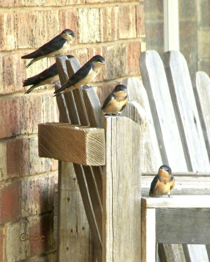 Courtesy Photo by Connie BarnettFive martins perch on a shady front porch May 23 during a quiet morning in Floyd County. Photo: Connie Barnett