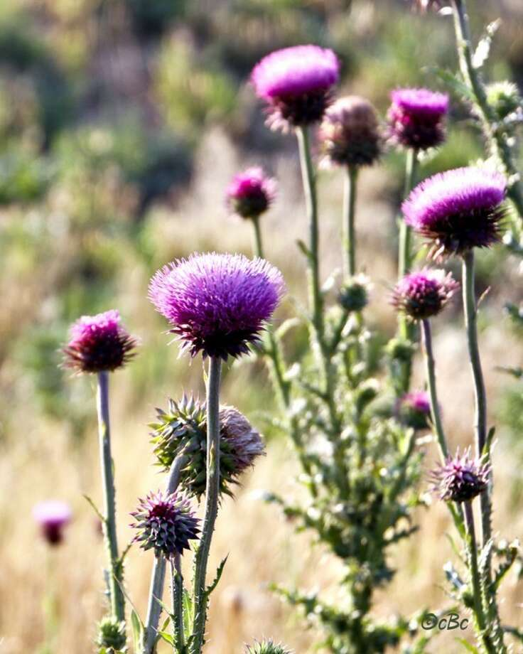 Photo by Connie BarnettWhile they produce lovely purple blooms, thistles have sharp prickles protecting its flowers and leaves. The thistle is the floral emblem of Scotland, but are not normally seen in large numbers in West Texas. These colorful thistles are growing in Floyd County. Photo: Connie Barnett