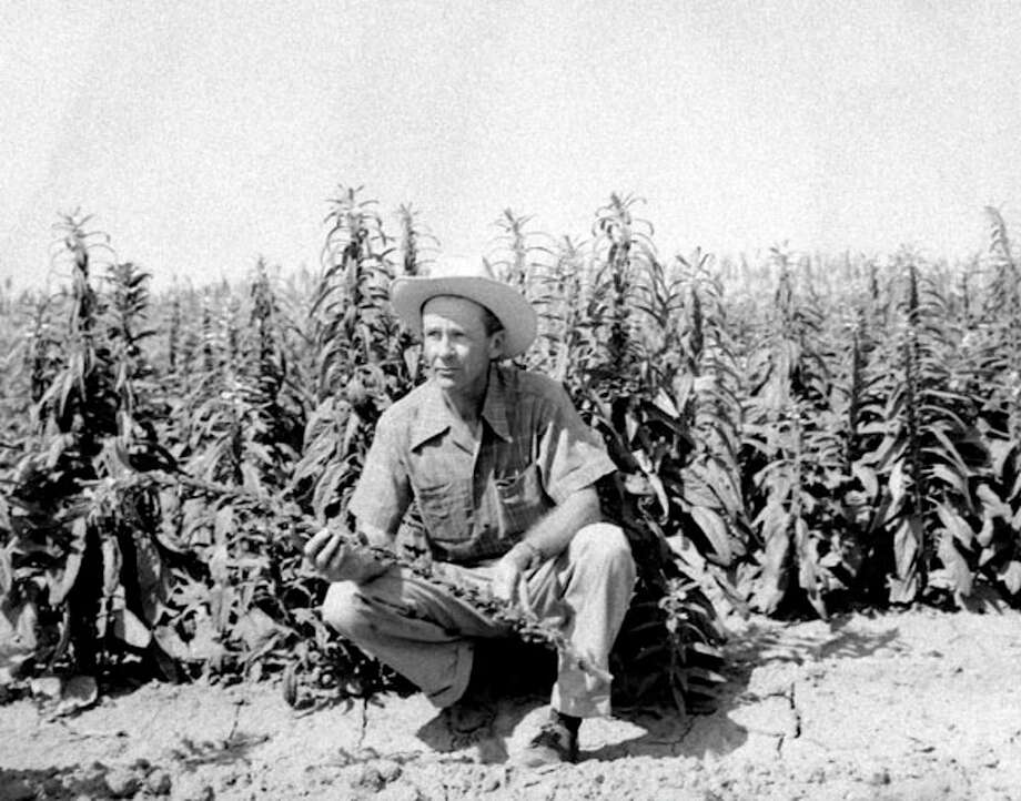 Herald File PhotoR.W. Stewart examines the first crop of sesame ever grown in Hale County, in 1953.