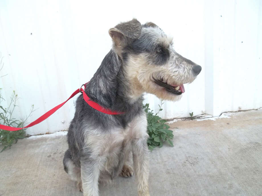 Cynthia Davison/Plainview Humane SocietyStormie is a female Schnauzer-mix. She likes to be cuddled and play with other dogs. Adoption fee is $75 for dogs and $50 for cats, which includes spay/neuter, a rabies shot and a microchip. If you are interested in adopting, call the Plainview Humane Society at 806-296-2311, visit from 4-5:30 p.m. Monday-Friday (closed Wednesday), like us on Facebook, or find us on the web at PlainviewHumaneSociety.org.