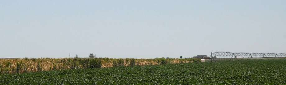 This cornfield north of Plainview begins to die as water is diverted to cotton. Photo: Richard Porter/Plainviwe Herald