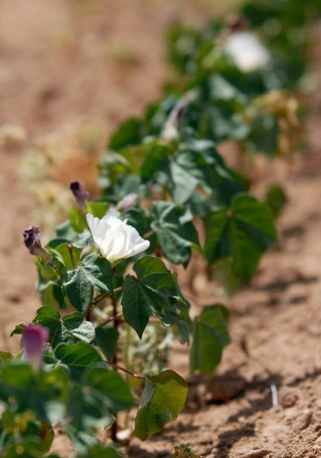 In general, it's not a good sign this time of year when the only bloom on a cotton plant is found at the top. According to experts, blooms at the top of a plant mean it basically is done putting on fruit and will concentrate its efforts on maturing the fruit. Steve Verett of Plains Cotton Growers said some of the South Plains' cotton is 2-3 weeks ahead of schedule because of hot, dry weather. Photo: Richard Porter/Plainview Herald