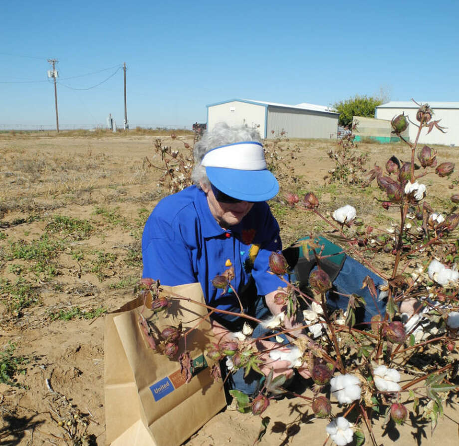 Lucile Davis, 85, picks cotton by hand into a bag pre-labeled with the type of plant she's picking from. Photo: Gail M. Williams | Plainview Herald