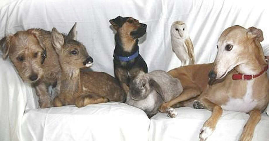 "Pictured from the left are: ""Toby,"" a stray Lakeland dog; ""Bramble,"" orphaned roe deer; ""Buster,"" a stray Jack Russell; a dumped rabbit; ""Sky,"" an injured barn owl; and ""Jasmine,"" with a mother's heart doing best what a caring mother would do . . . and such is the order of creation."