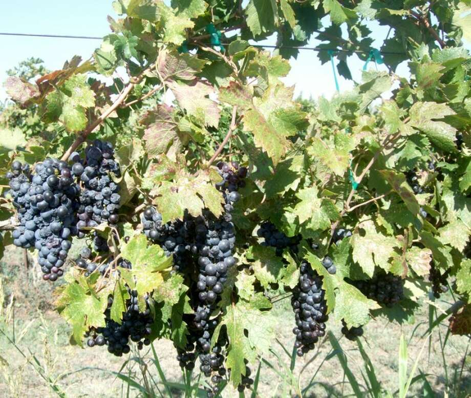 Shanna Sissom/Plainview HeraldGrapes are ripened on the vine at the Bell Brothers Vineyard at Halfway, ready for harvest late last week.