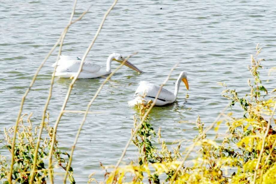 These two white pelicans, at least one of which appeared to have a green tag attached, were spotted Tuesday afternoon at the Travis Trussell Duck Pond, where the water level received a much-needed boost by today's rain.