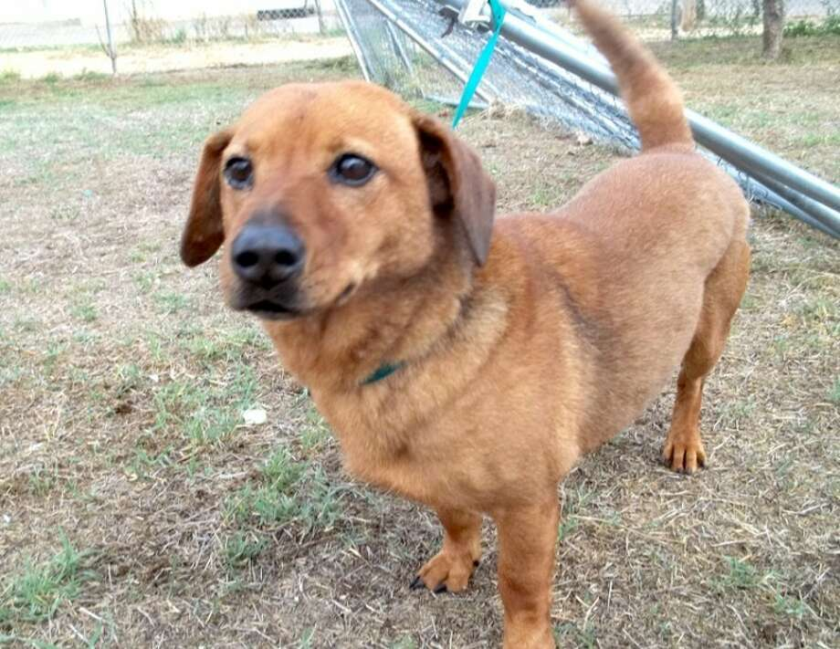 Daisy is a 6-year-old dachshund mix. She is housebroken and will sit calmly while you read or watch TV. She likes other dogs, but chases cats. If you are interested in Daisy or another dog or cat, call the Plainview Humane Society at 806-296-2311 or visit 500 S.W. Third from 4-5:30 p.m. Monday-Friday. Adoption fee is $75 for dogs and $50 for cats, which includes spay/neuter, rabies shot and microchip.