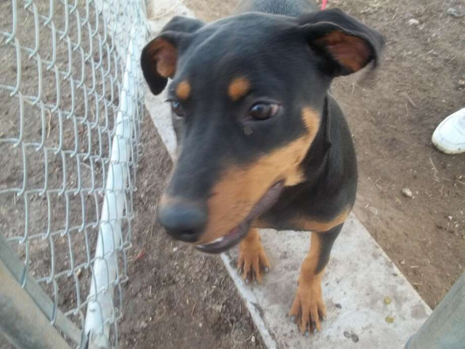 Maggie is a 7-8 month-old, female rottweiler mix. She is playful and enjoys kids. If you are interested in Maggie or another dog or cat, call the Plainview Humane Society at 806-296-2311, or visit 500 S.W. Third from 4-5:30 p.m. Monday-Friday. Adoption fee is $75 for dogs and $50 for cats, which includes spay/neuter, a rabies shot and a microchip.